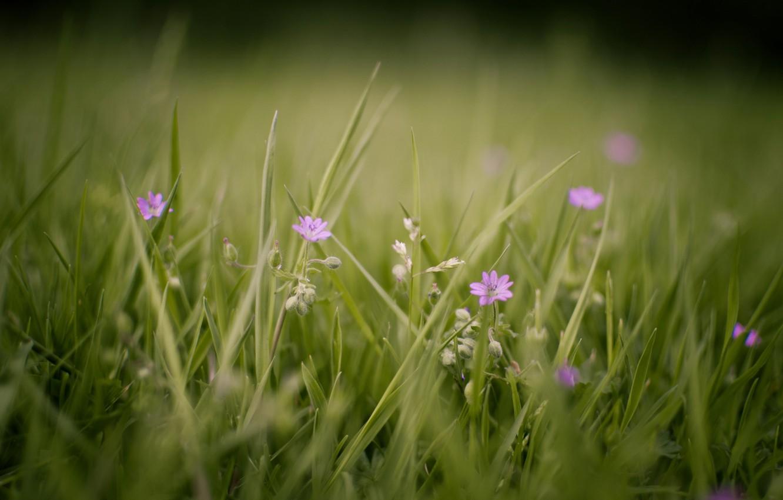 Фото обои зелень, лето, трава, макро, цветы, природа, фото, фон, обои, поляна, растения, цветение