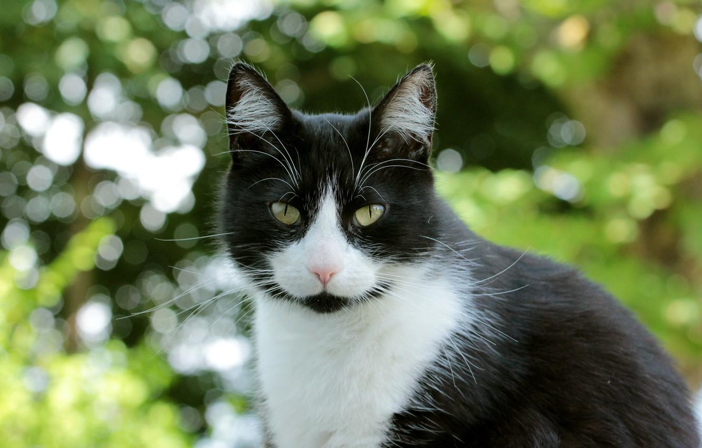 Коты черно-белые фото