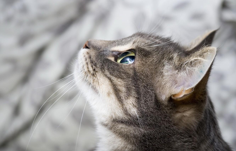 Фото обои глаза, кот, взгляд, морда, фон