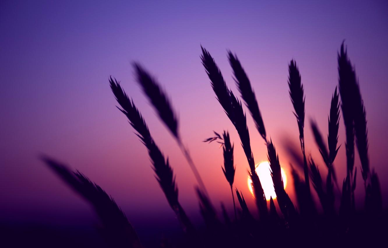 Фото обои поле, небо, солнце, макро, закат, Вечер, размытость, колоски, колосья, сиреневое