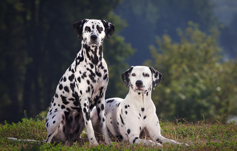 Фото обои собаки, summer, далматин