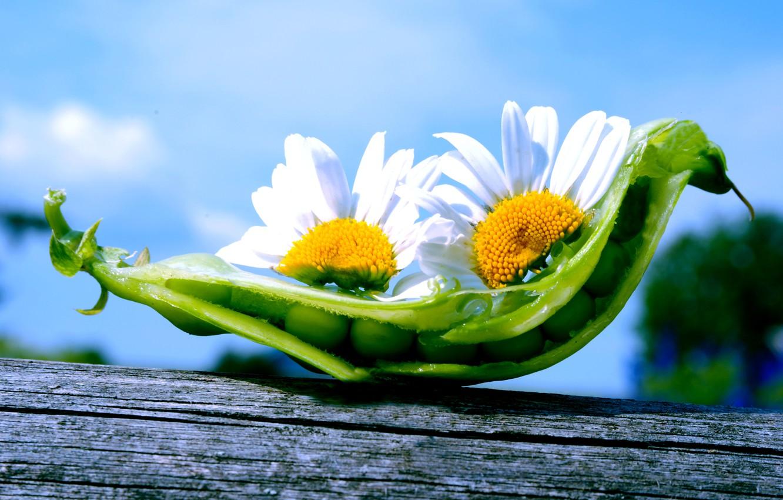Фото обои небо, цветы, природа, ромашки, горох, стручок, горошины