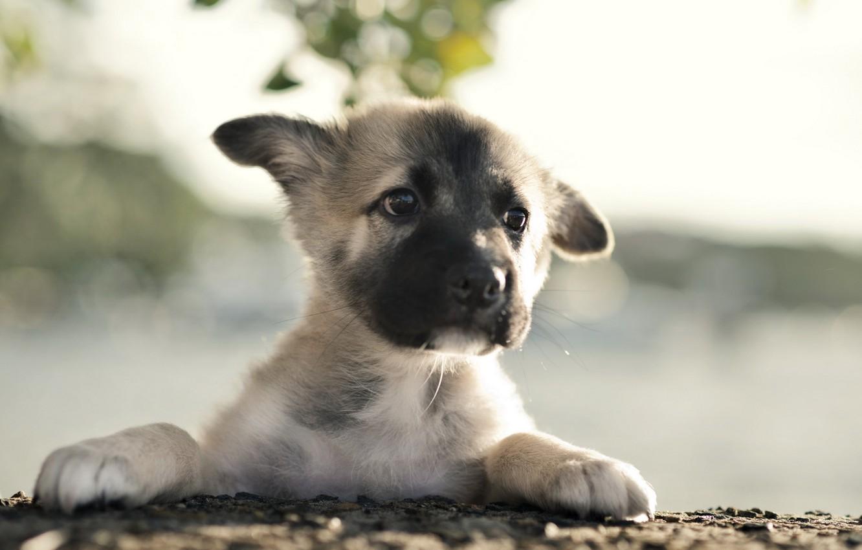 Фото обои собака, щенок, german shepherd
