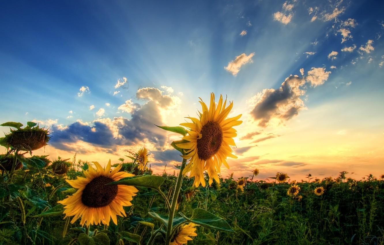 Фото обои поле, небо, солнце, облака, подсолнухи