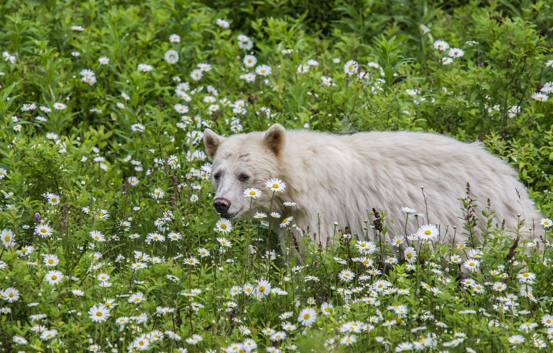 Волк нюхает цветы фото