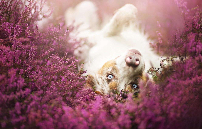 Обои собаки, люпины, цветы, Две собаки, луг. Собаки foto 17