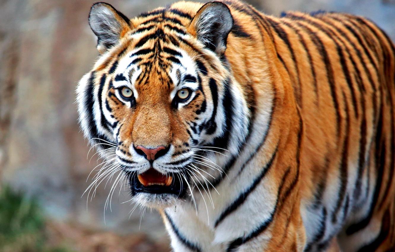 Обои Кошка, tigr, зверь. Кошки foto 9