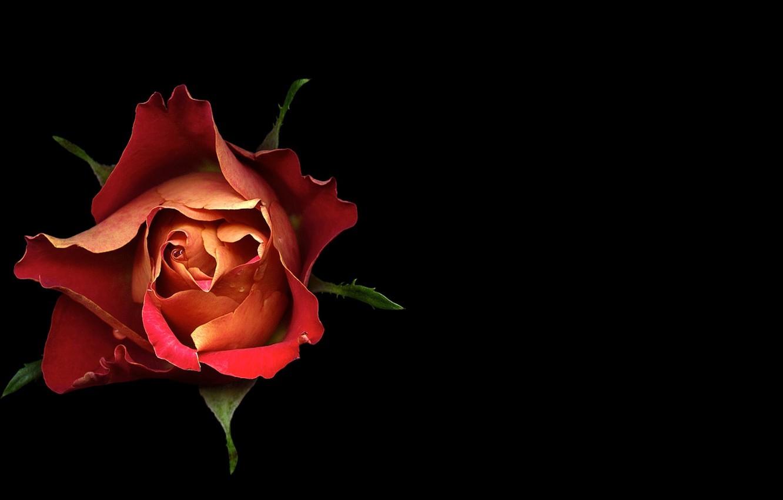 Фото обои свет, фон, роза, тень, лепестки