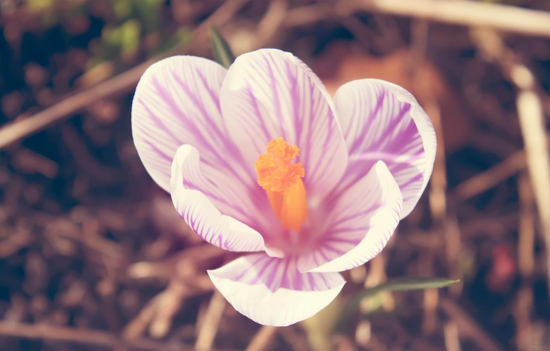 Фото обои белый, розовый, лепестки, Крокус