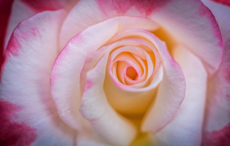 Фото обои макро, нежность, роза, лепестки, бутон