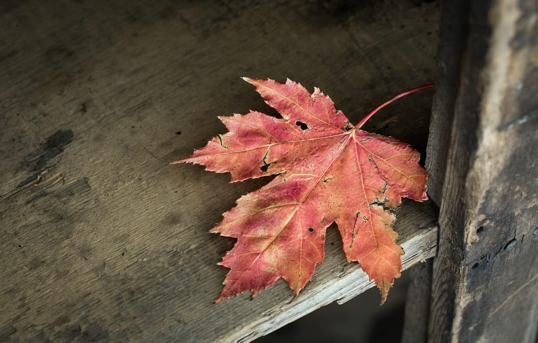 Фото обои природа, фон, лист клена