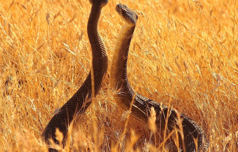 Фото обои животные, змеи, лето, longhorn, небо, трава, vista