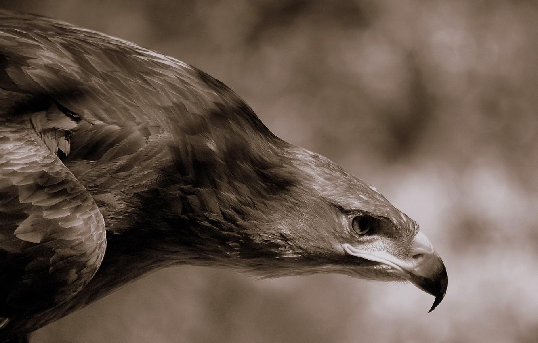 Фото обои орел, перья, клюв