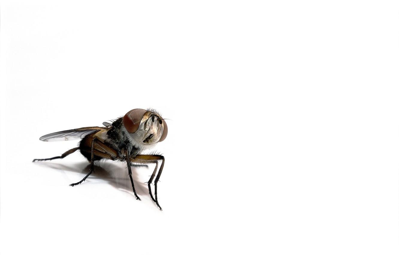 Фото обои муха, фон, насекомое