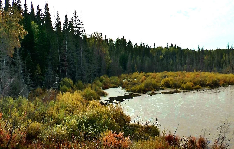 Фото обои лес, природа, болото, тайга, Сибирь
