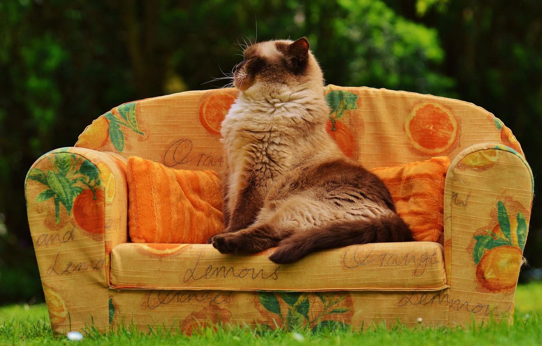 Толстый сфинкс фото кошки