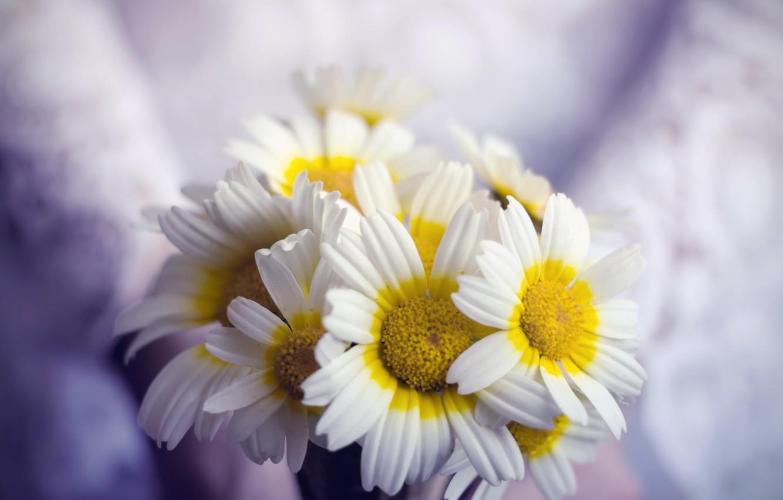 Фото обои цветы, фон, ромашки