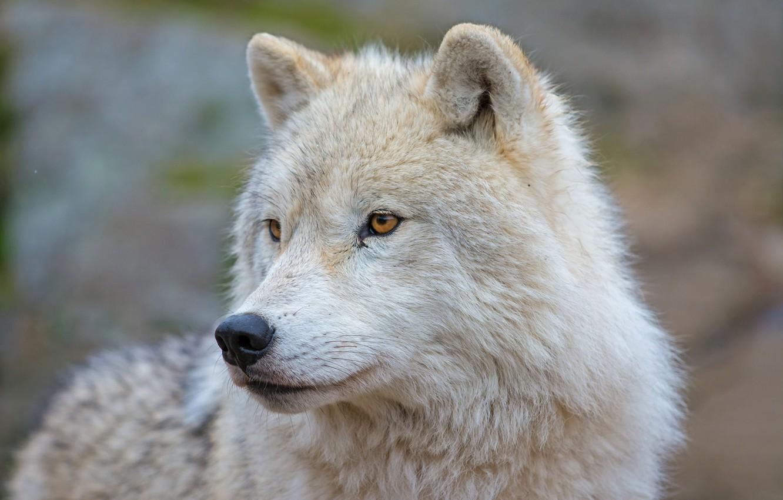 возможно доках морда волка фото красивое салоне