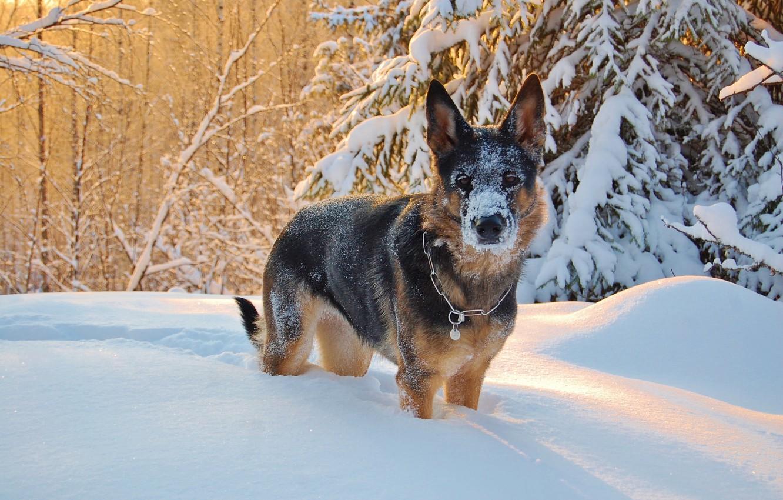 Фото обои зима, взгляд, снег, друг, собака