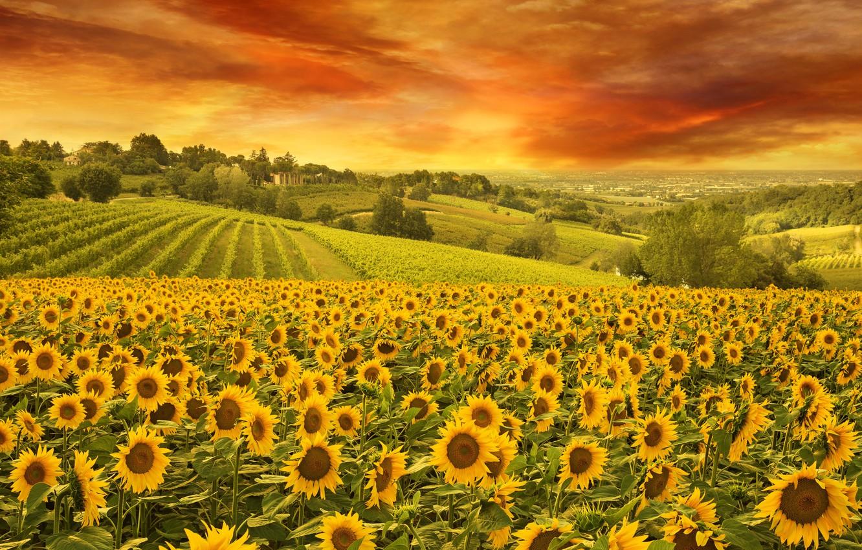 Фото обои Небо, Природа, Поле, Подсолнухи, Пейзаж
