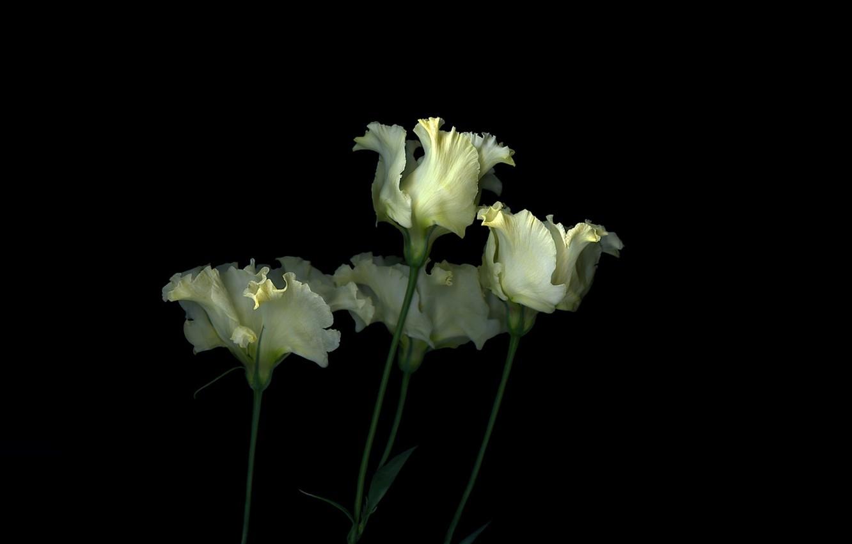 Фото обои свет, фон, тень, лепестки, стебель, тюльпаны