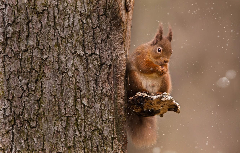 Фото обои зима, лес, снег, дерево, пушистый, орех, белка, зверек, snow, обед, cute, eating, nut, Sue Demetriou, …