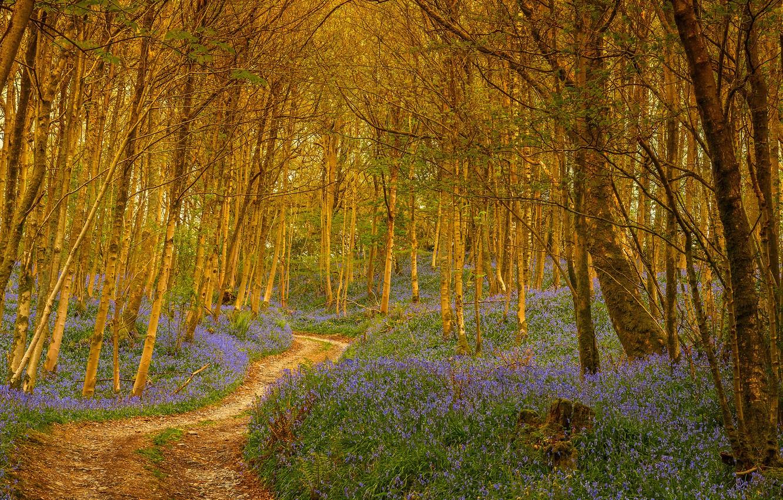 Фото обои лес, деревья, цветы, тропа