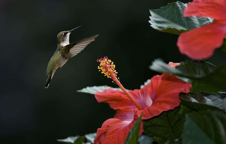 Фото обои цветок, птица, фокус, колибри, гибискус