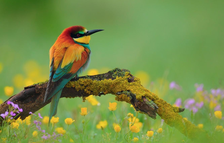 Фото обои цветы, птица, ветка, щурка золотистая, пчелоед