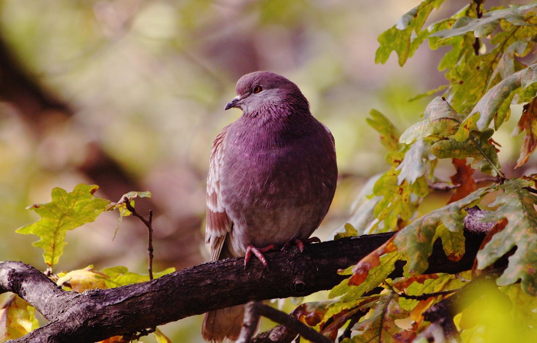 Фото обои осень, листья, птицы, птица, голубь, ветка, дуб