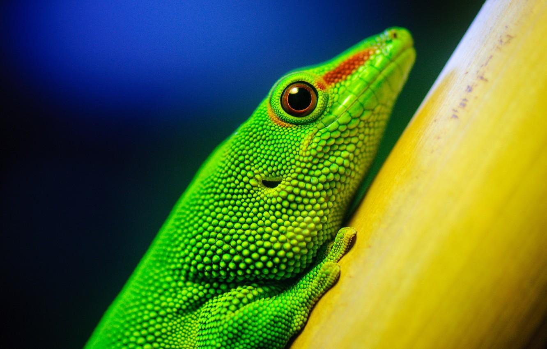 Фото обои зеленый, растение, ящерица, геккон