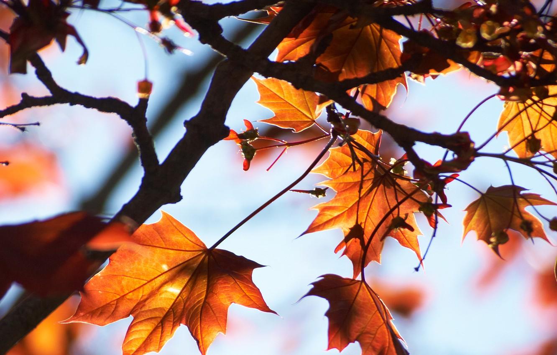 Фото обои небо, макро, свет, ветки, дерево, клён, листики, осенние