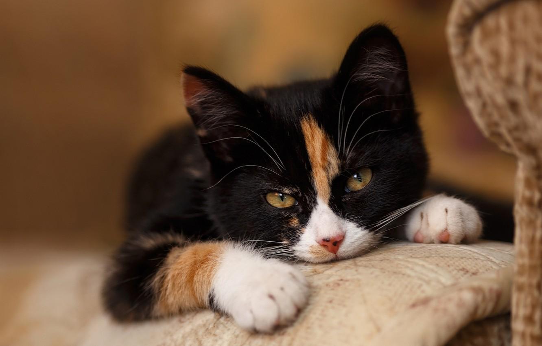 Фото обои кошка, cat, cat face