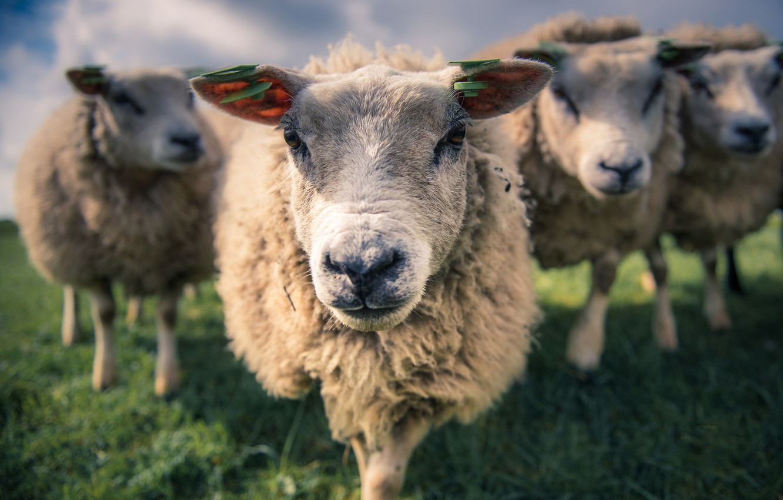 Фото обои овцы, весна, утро, Луг