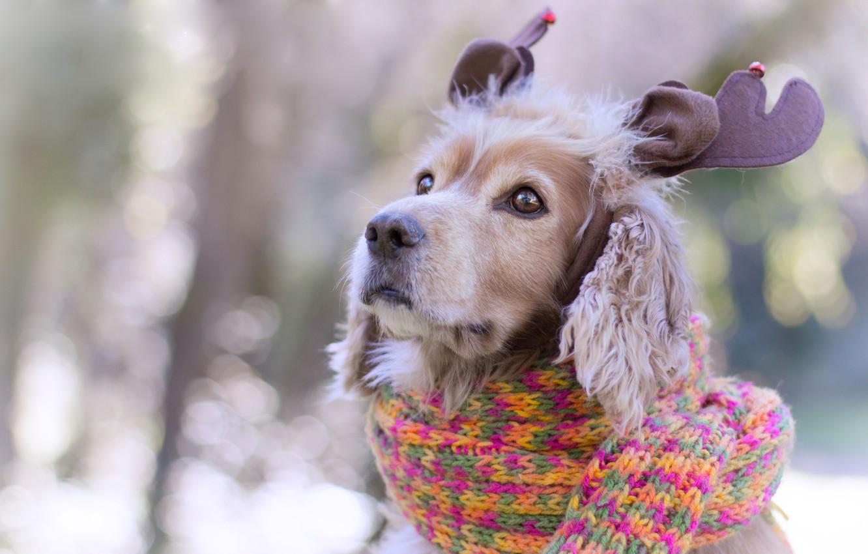 Фото обои глаза, взгляд, фон, новый год, портрет, рождество, собака, шарф, щенок, рога, украшение, мордашка, ушки, нежные …