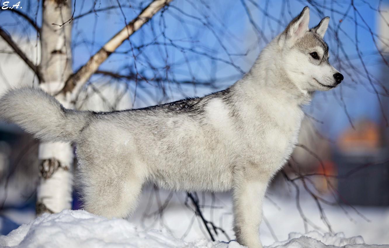 Фото обои зима, снег, друг, собака