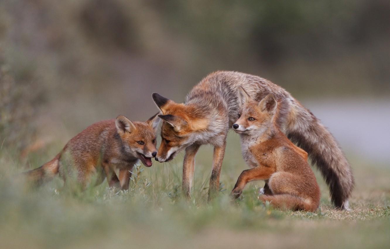 Фото обои лес, природа, семья, лиса, лис, forest, fox, nature, лисята, family, Emi