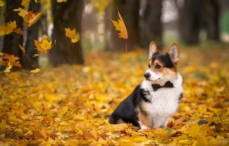 Фото обои осень, листья, галстук, корги