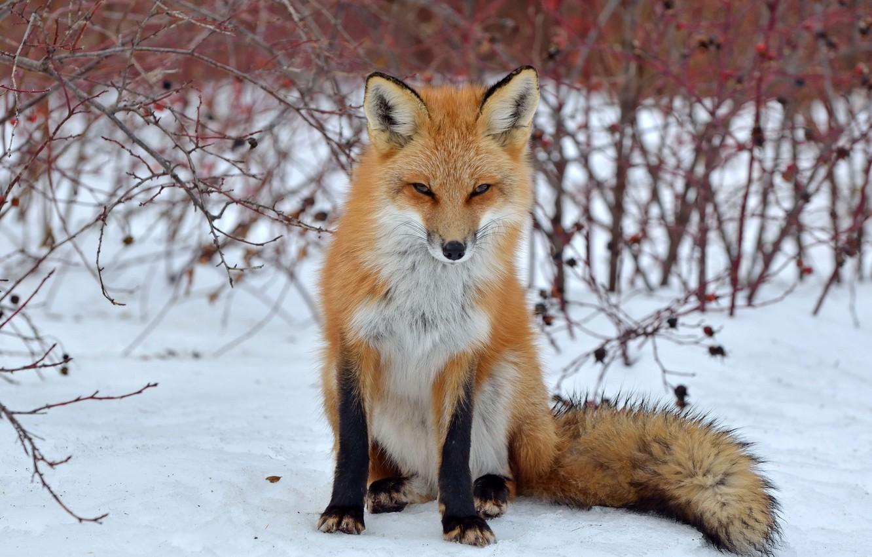 Фото обои взгляд, снег, лиса, лисица