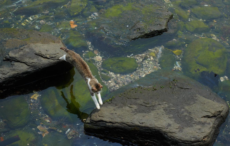Фото обои кот, вода, водоросли, камни, прыжок, мель