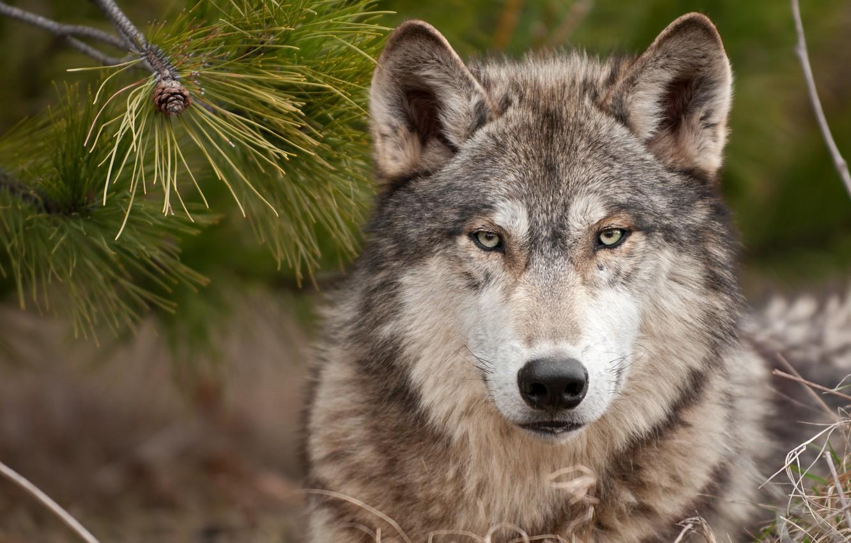 Фото обои волк, хищник, wolf, суровый взгляд