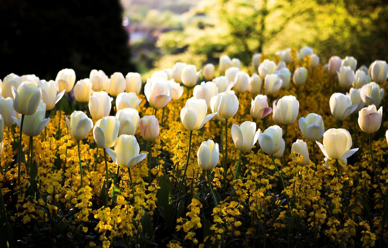 Фото обои цвета, солнце, свет, цветы, блики, парк, весна, желтые, размытость, тюльпаны, белые, клумба, сквер
