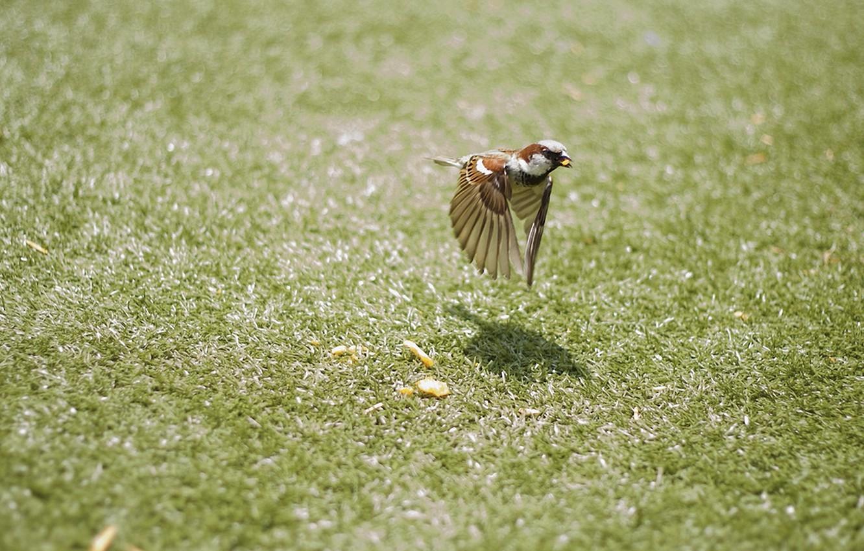 Фото обои трава, полет, движение, птица, крылья, воробей, птичка, боке, крошки