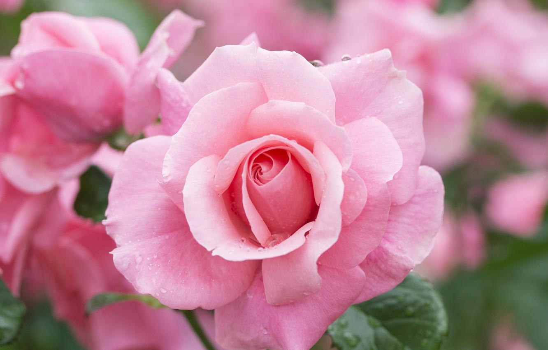 Фото обои макро, роза, лепестки