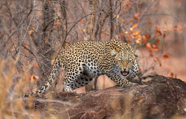 Фото обои осень, лес, листья, ветки, камень, хищник, леопард, оскал, боке, пятнистый