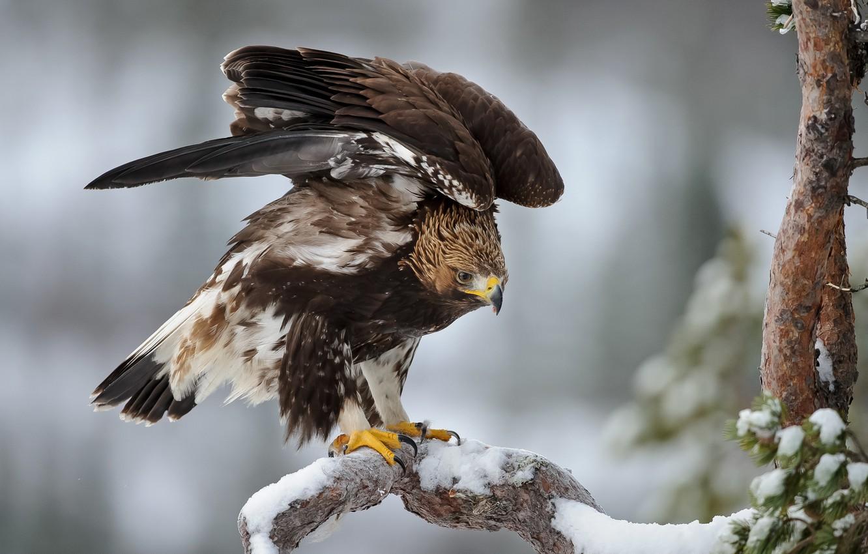 Обои eagle, beak, the, клюв, winter. Животные foto 17