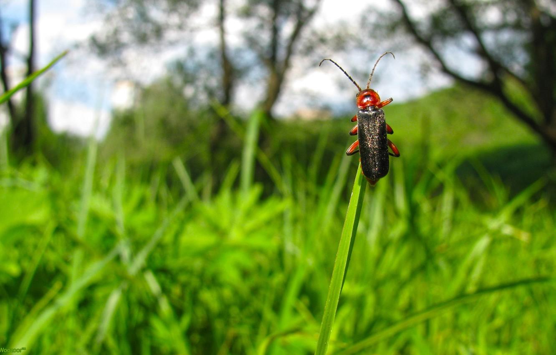 Фото обои небо, трава, облака, макро, природа, Жук, насекомое