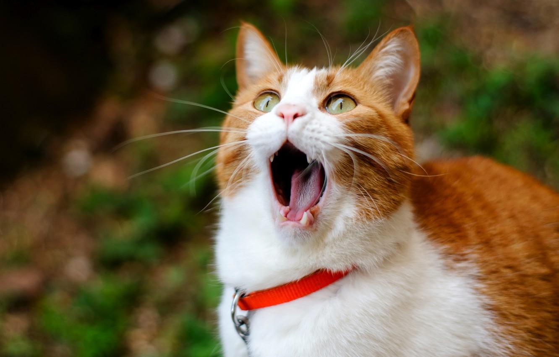 Фото обои Кот, рыжий, зевает, cat, ginger, yawns