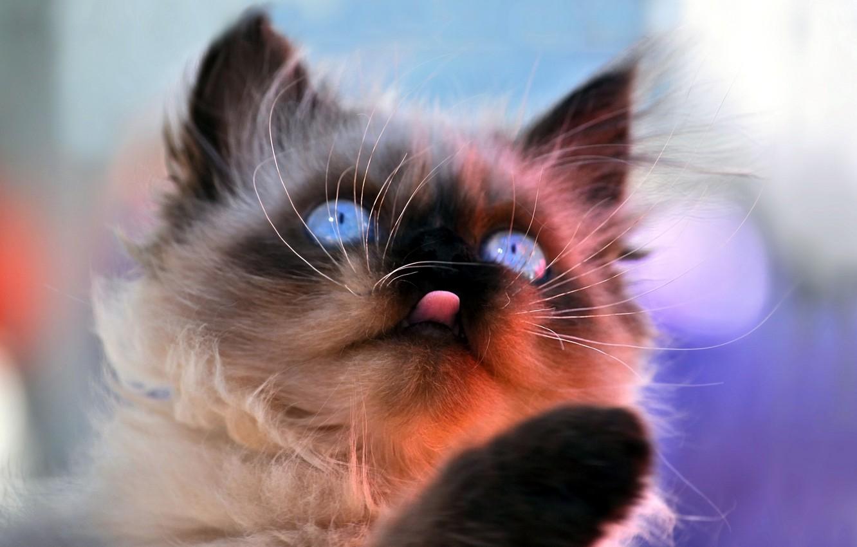 Фото обои кошка, морда, фон