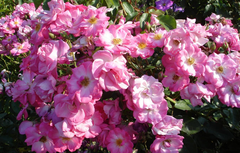 Фото обои лето, цветы, розы, розовые